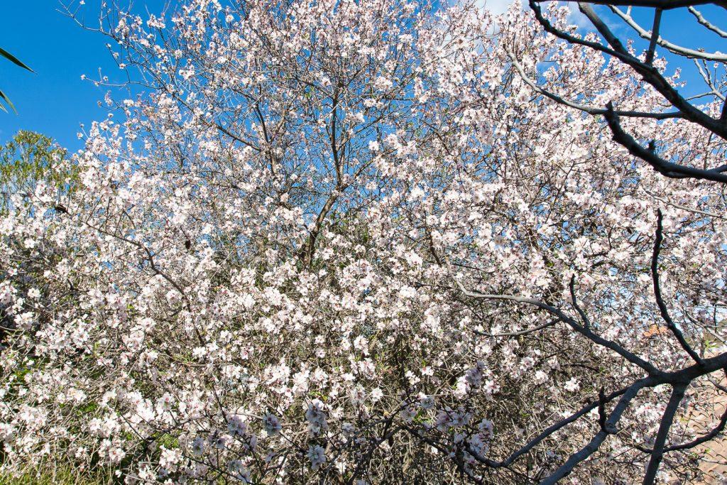 almond bloom spain