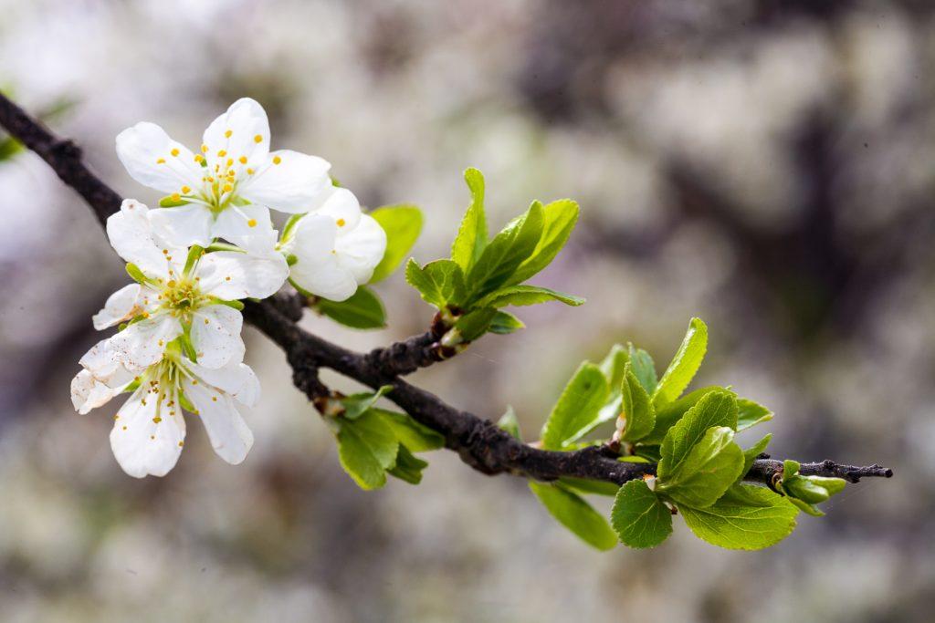 white almond blossom spain
